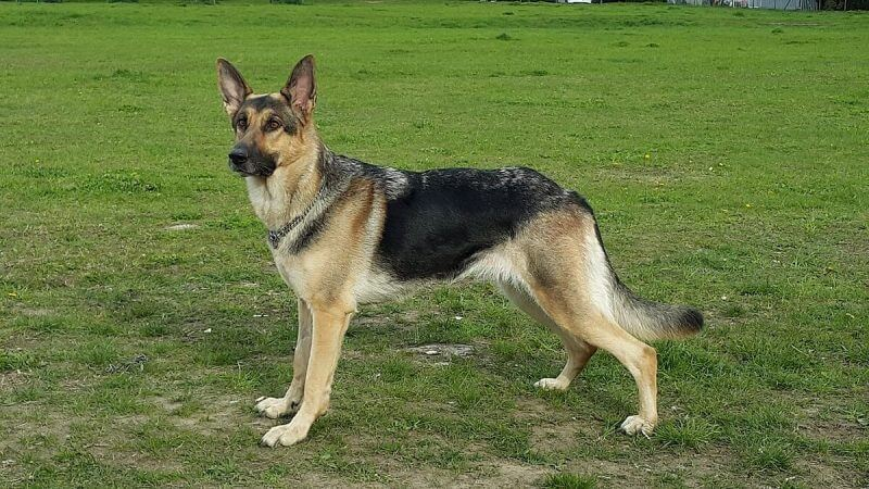 German Shepherd Handbook  Review – Does It Work?