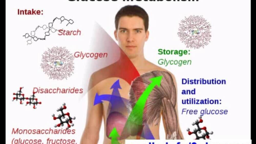 human body and metabolic processes shown aside