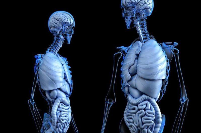human internal body