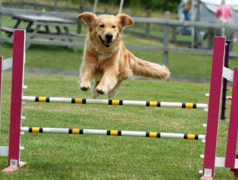 a dog jumping over hudles