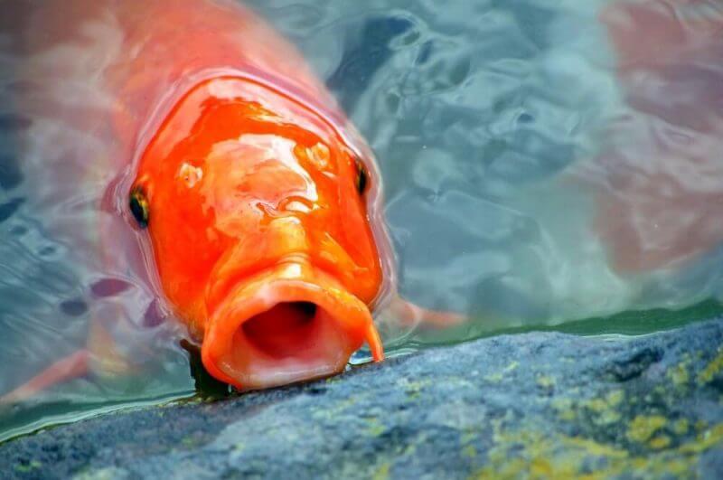 orange colored fish