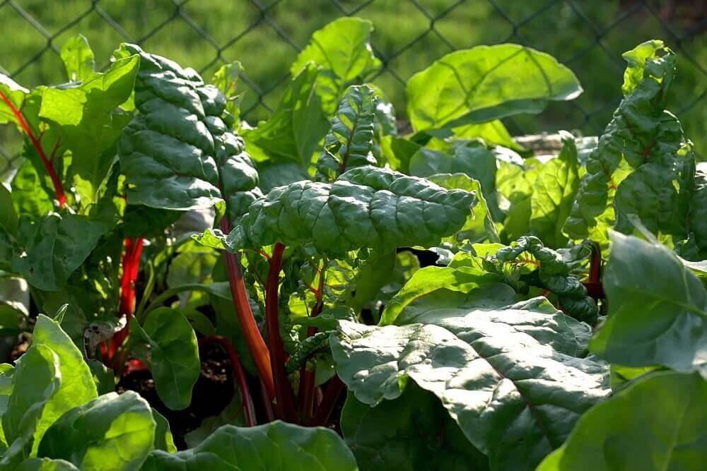 spinach on a farm