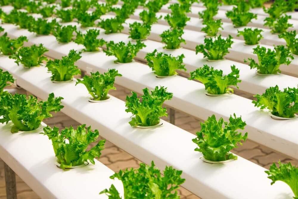 veggies planted in aquaponics