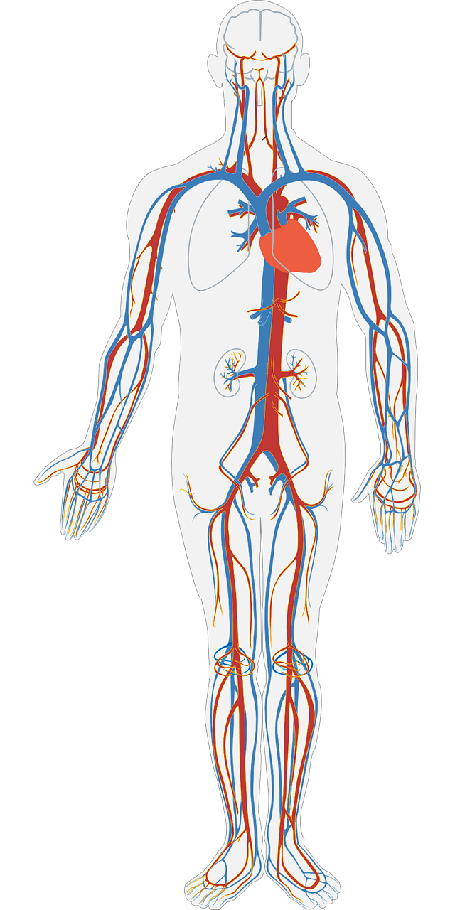 a drawing of the human body blood transport system