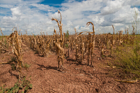 a field of corn damaged from a drought